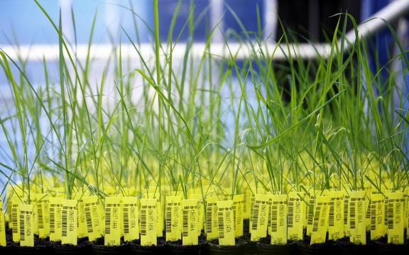 Genetisch gemodificeerde rijstplanten