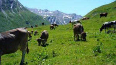 Koeien grazen in de Franse Alpen